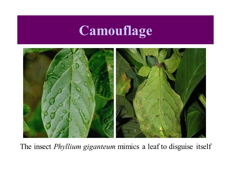 The insect Phyllium giganteum mimics a leaf to disguise itself Camouflage