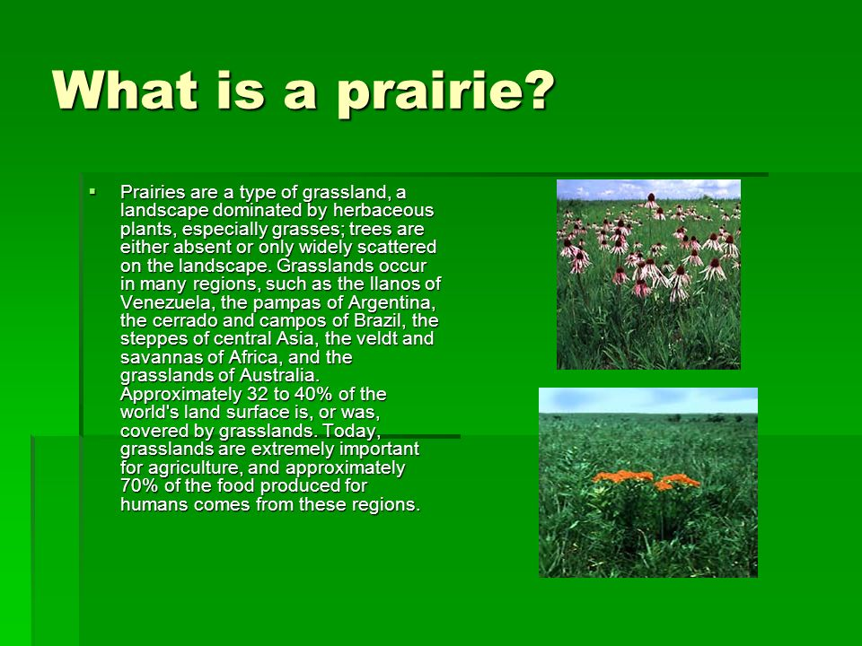 What is a prairie? Prairies are a type of grassland, a landscape dominated by herbaceous plants, especially grasses; trees are either absent or only w