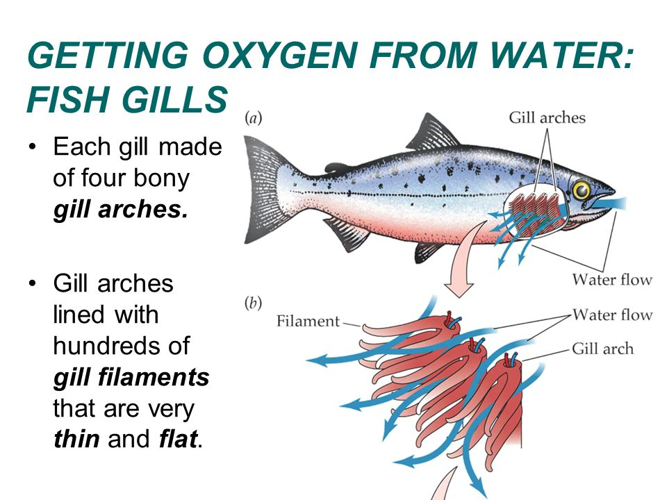 GETTING OXYGEN FROM WATER: FISH GILLS Each gill made of four bony gill arches. Gill arches lined with hundreds of gill filaments that are very thin an