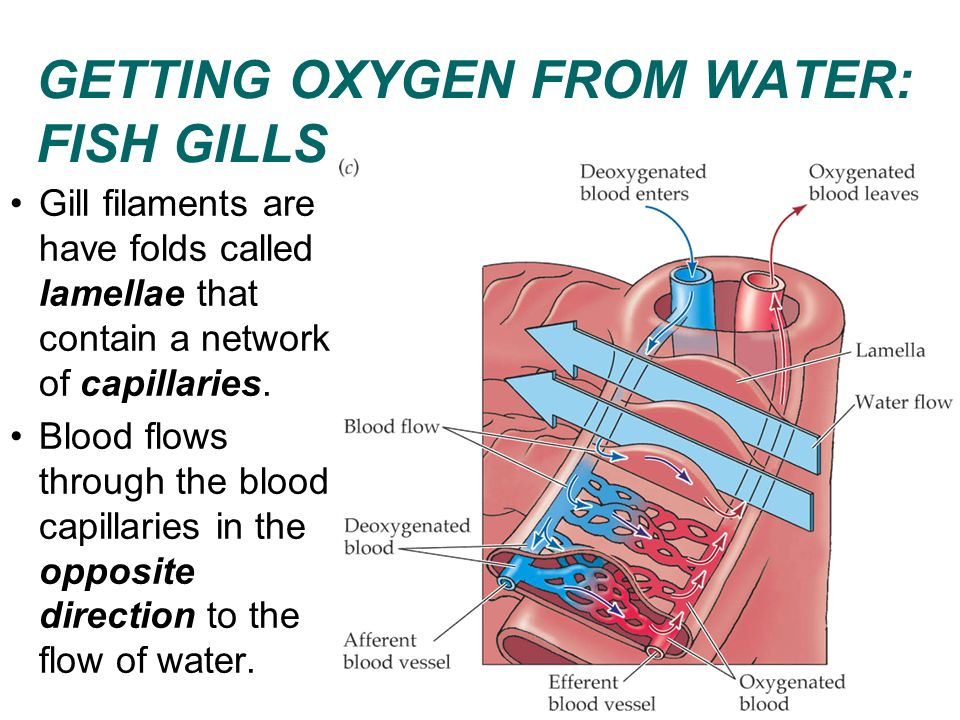 GETTING OXYGEN FROM WATER: FISH GILLS Gill filaments are have folds called lamellae that contain a network of capillaries. Blood flows through the blo
