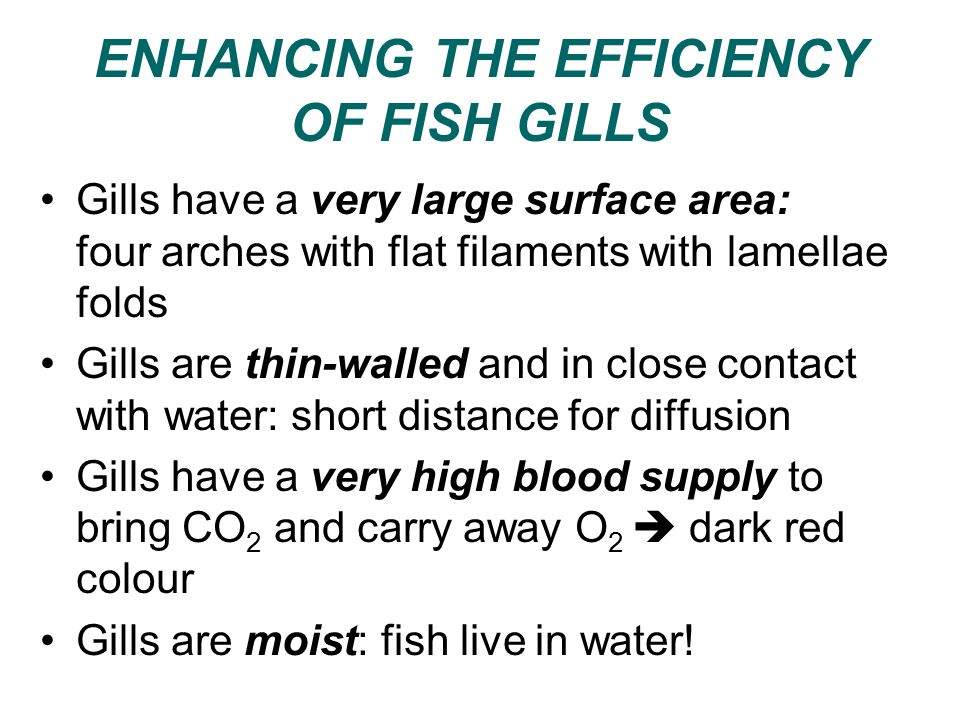 ENHANCING THE EFFICIENCY OF FISH GILLS Gills have a very large surface area: four arches with flat filaments with lamellae folds Gills are thin-walled