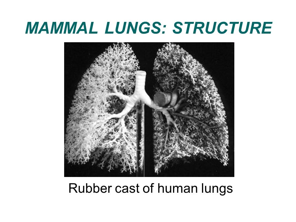 MAMMAL LUNGS: STRUCTURE Rubber cast of human lungs