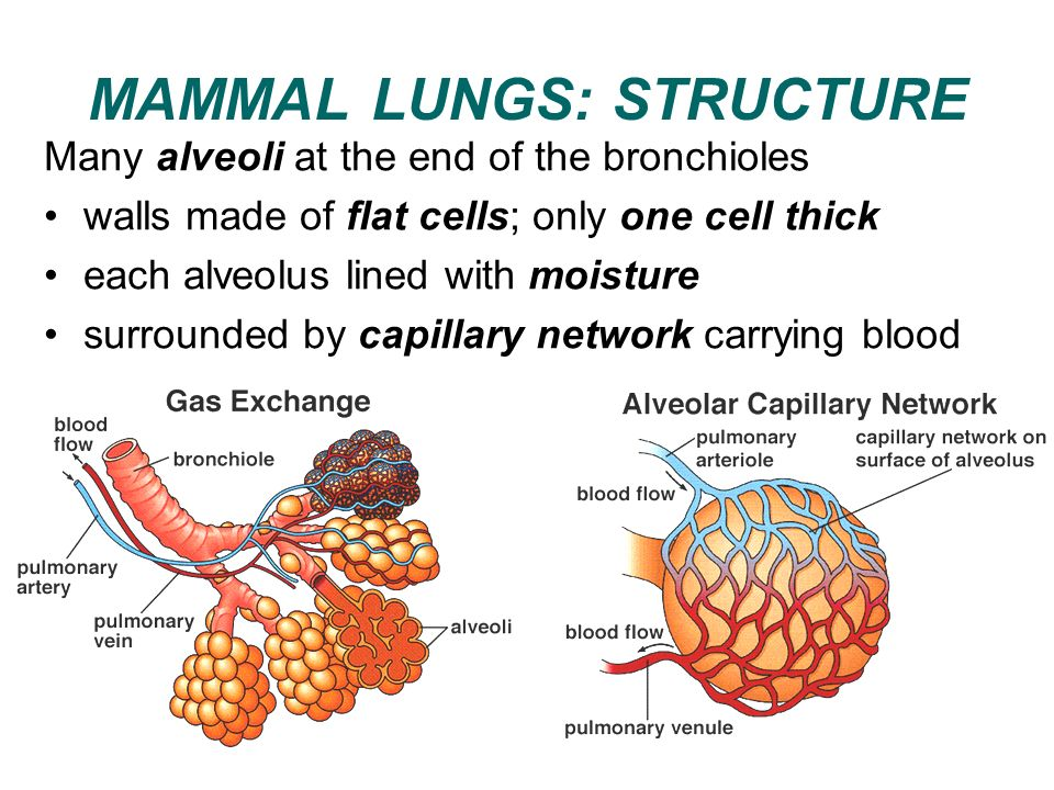 MAMMAL LUNGS: STRUCTURE Many alveoli at the end of the bronchioles walls made of flat cells; only one cell thick each alveolus lined with moisture sur
