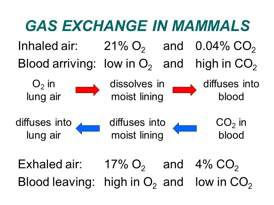 GAS EXCHANGE IN MAMMALS Inhaled air: 21% O 2 and 0.04% CO 2 Blood arriving: low in O 2 and high in CO 2 O 2 in lung air dissolves in moist lining diff