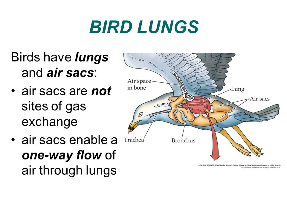 BIRD LUNGS Birds have lungs and air sacs: air sacs are not sites of gas exchange air sacs enable a one-way flow of air through lungs