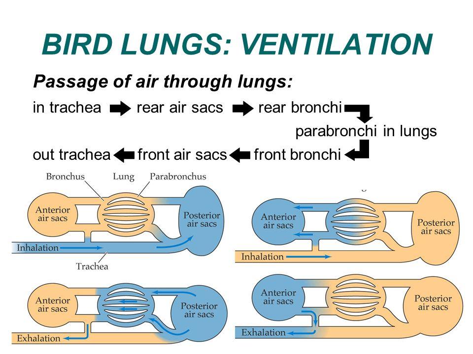 BIRD LUNGS: VENTILATION Passage of air through lungs: in trachea rear air sacs rear bronchi parabronchi in lungs out trachea front air sacs front bron