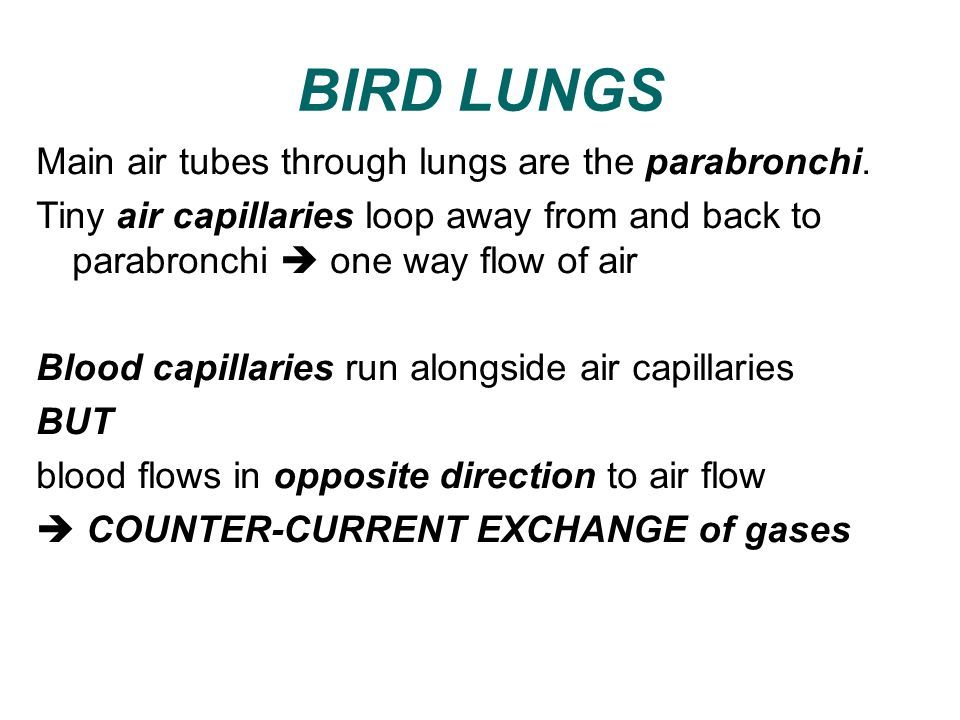 BIRD LUNGS Main air tubes through lungs are the parabronchi. Tiny air capillaries loop away from and back to parabronchi one way flow of air Blood cap