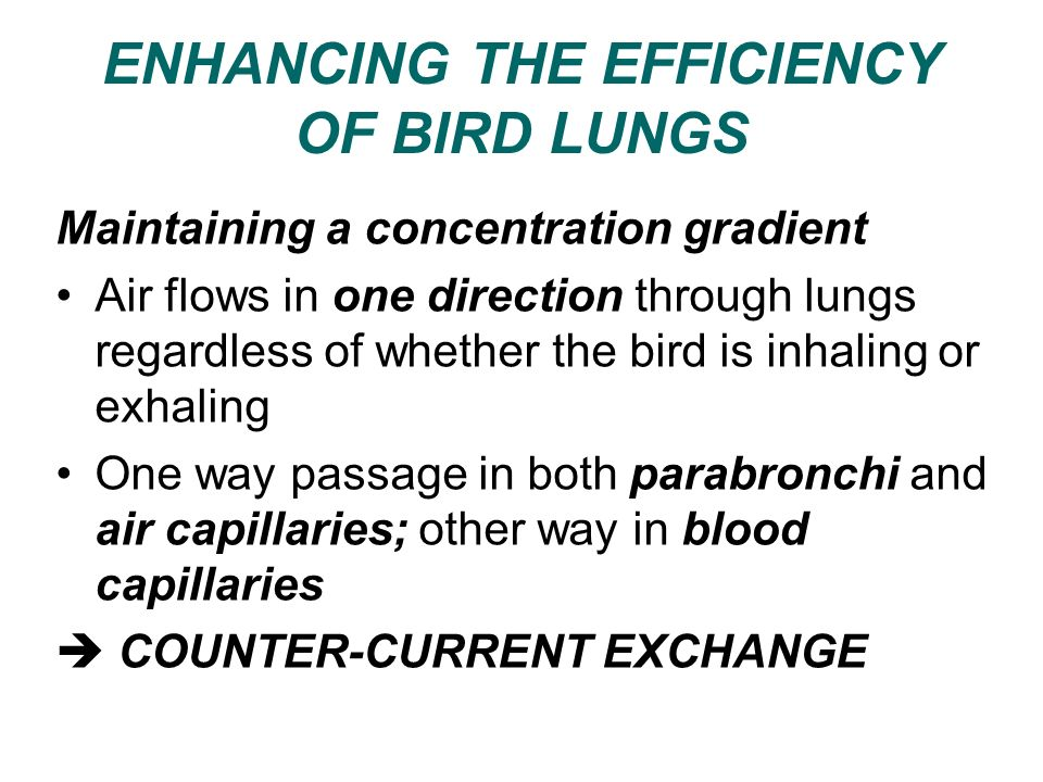 ENHANCING THE EFFICIENCY OF BIRD LUNGS Maintaining a concentration gradient Air flows in one direction through lungs regardless of whether the bird is