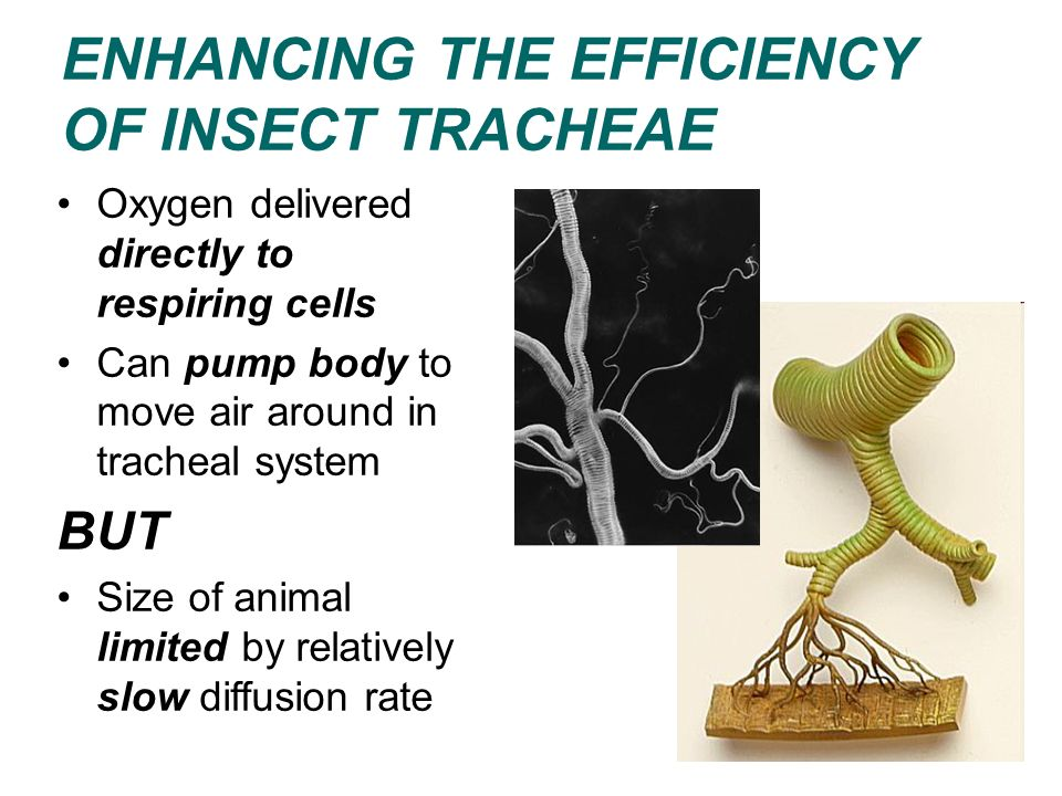 Oxygen delivered directly to respiring cells Can pump body to move air around in tracheal system BUT Size of animal limited by relatively slow diffusi