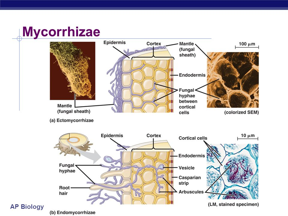AP Biology Mycorrhizae increase absorption Symbiotic relationship between fungi & plant symbiotic fungi greatly increases surface area for absorption