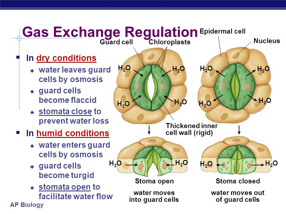 AP Biology What environmental conditions might impact transpiration of water? 3. Gas Exchange