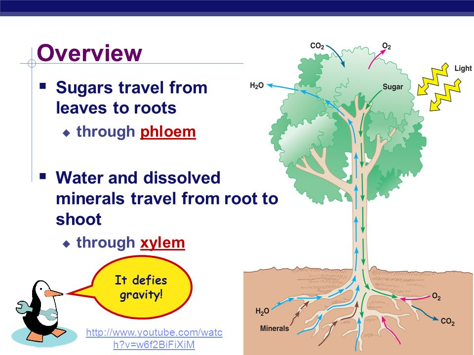AP Biology Transport in plants 1. H 2 O & minerals transport in xylem transpiration Water potential, adhesion & cohesion 2. Sugars transport in phloem
