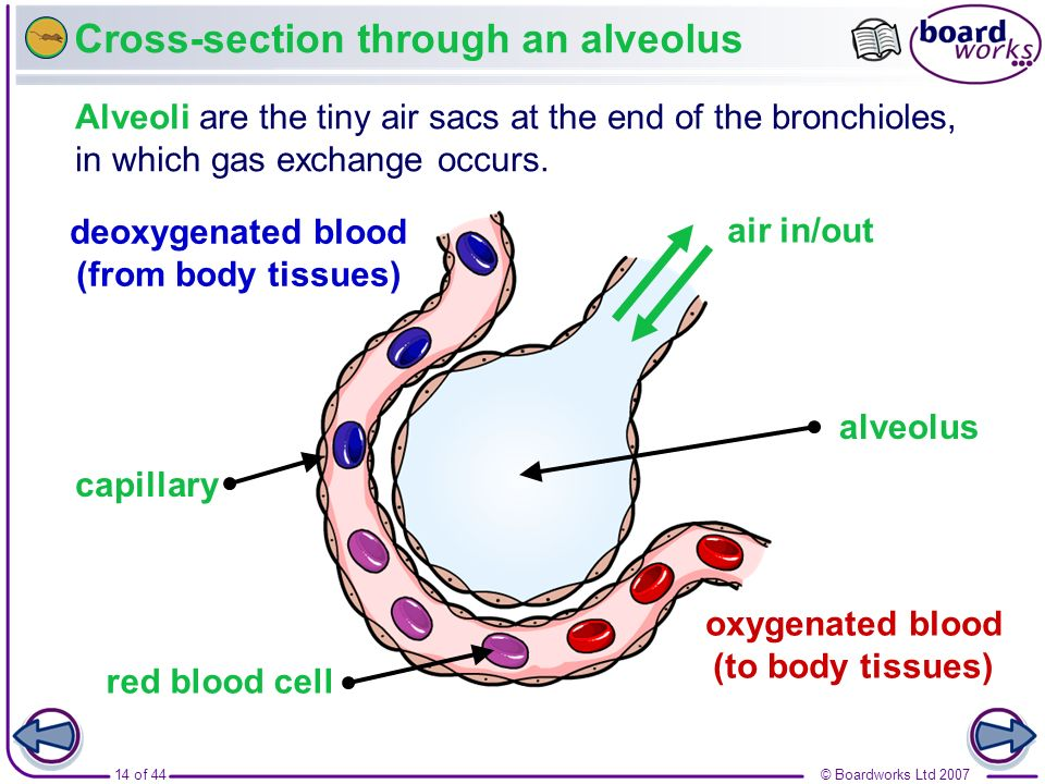 © Boardworks Ltd 200714 of 44 Cross-section through an alveolus deoxygenated blood (from body tissues) oxygenated blood (to body tissues) air in/out A