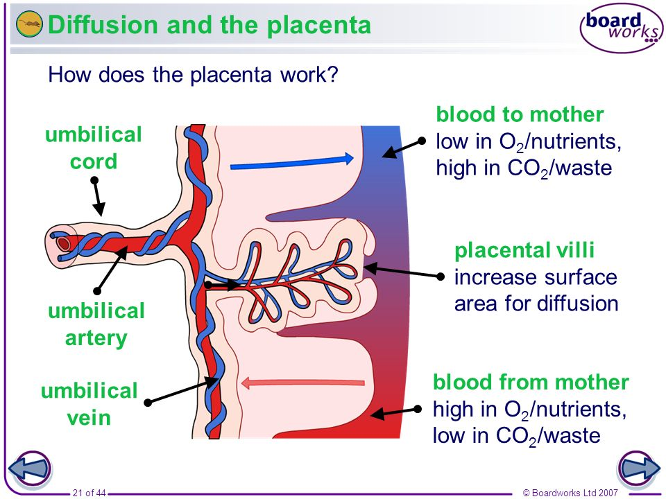 © Boardworks Ltd 200721 of 44 Diffusion and the placenta How does the placenta work? umbilical cord blood to mother low in O 2 /nutrients, high in CO