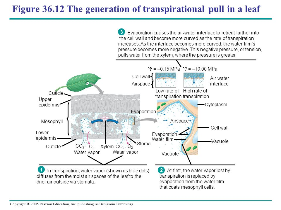 Copyright © 2005 Pearson Education, Inc. publishing as Benjamin Cummings Figure 36.12 The generation of transpirational pull in a leaf Evaporation cau