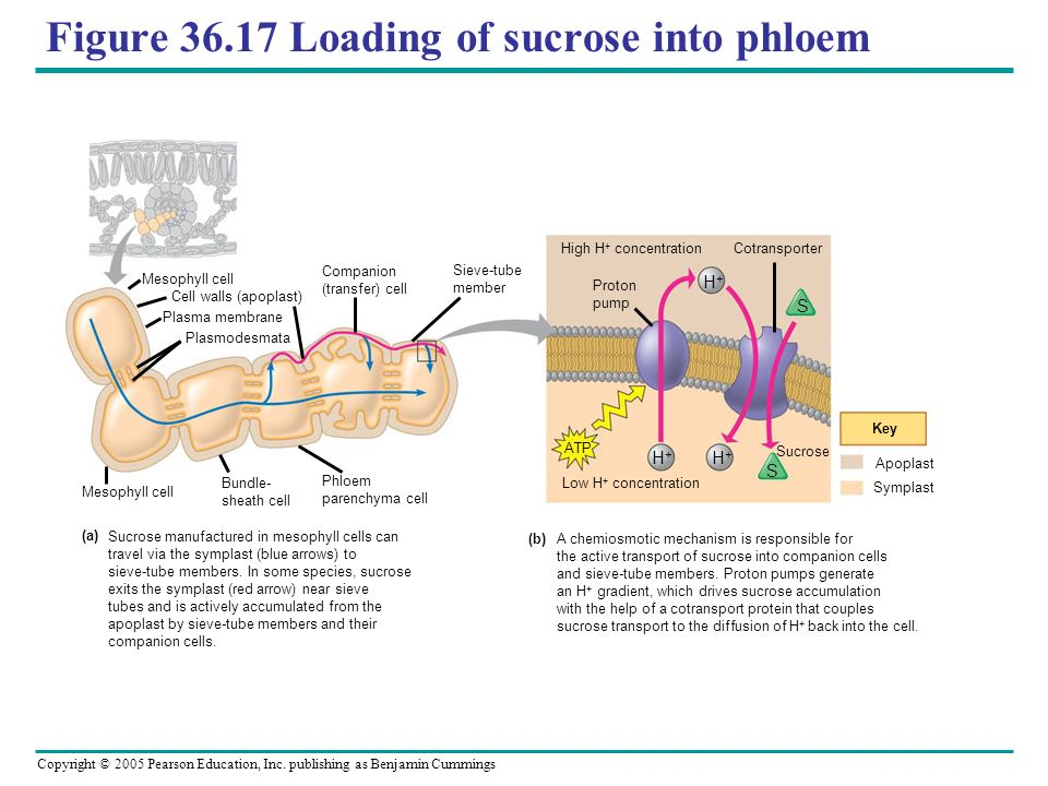 Copyright © 2005 Pearson Education, Inc. publishing as Benjamin Cummings Figure 36.17 Loading of sucrose into phloem Sucrose manufactured in mesophyll