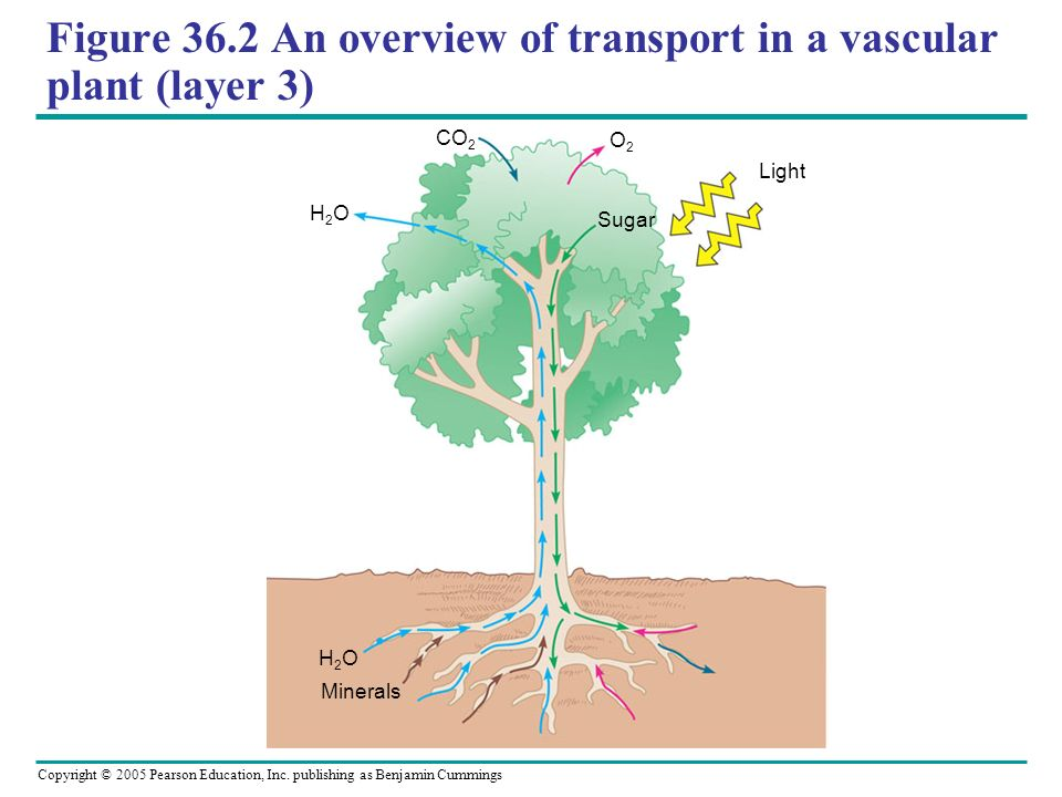 Copyright © 2005 Pearson Education, Inc. publishing as Benjamin Cummings Figure 36.2 An overview of transport in a vascular plant (layer 3) Minerals H