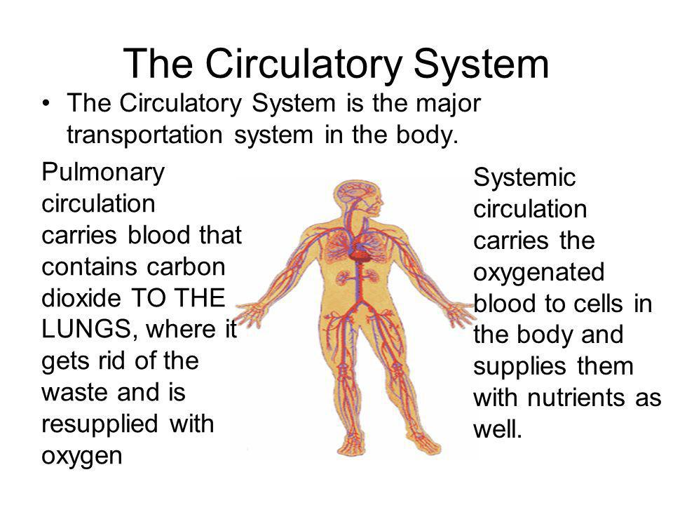The Circulatory System The Circulatory System is the major transportation system in the body. Pulmonary circulation carries blood that contains carbon