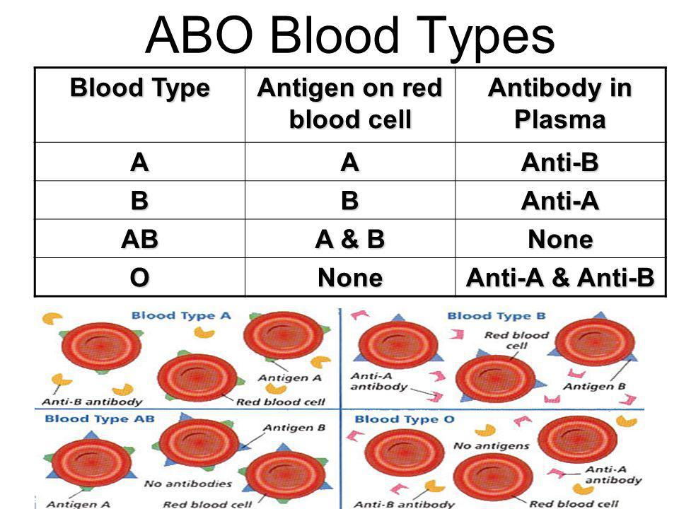 ABO Blood Types Blood Type Antigen on red blood cell Antibody in Plasma AAAnti-B BBAnti-A AB A & B None ONone Anti-A & Anti-B