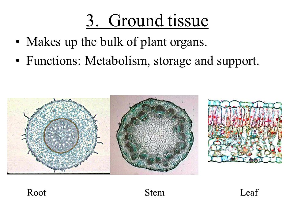 3. Ground tissue Makes up the bulk of plant organs. Functions: Metabolism, storage and support. RootStem Leaf