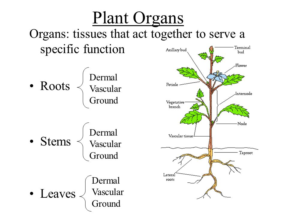 Plant Organs Organs: tissues that act together to serve a specific function Roots Stems Leaves Dermal Vascular Ground Dermal Vascular Ground Dermal Va