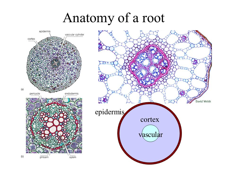 Anatomy of a root epidermis cortex vascular