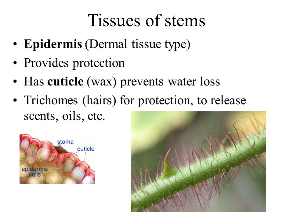 Tissues of stems Epidermis (Dermal tissue type) Provides protection Has cuticle (wax) prevents water loss Trichomes (hairs) for protection, to release