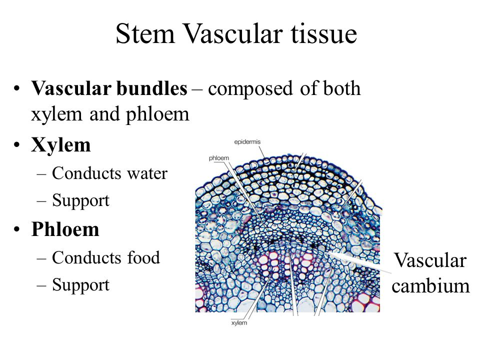 Stem Vascular tissue Vascular bundles – composed of both xylem and phloem Xylem –Conducts water –Support Phloem –Conducts food –Support Vascular cambi