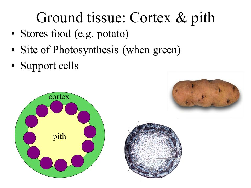 Ground tissue: Cortex & pith Stores food (e.g. potato) Site of Photosynthesis (when green) Support cells pith cortex
