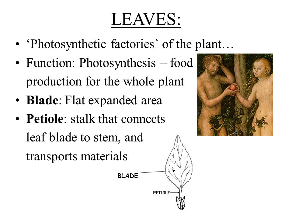 LEAVES: Photosynthetic factories of the plant… Function: Photosynthesis – food production for the whole plant Blade: Flat expanded area Petiole: stalk