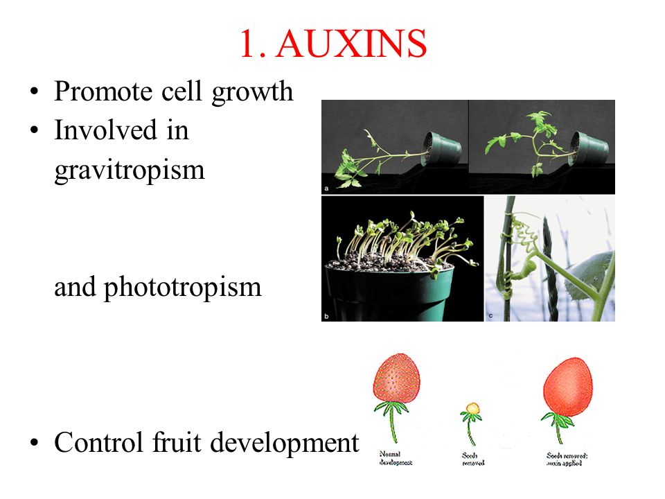 1. AUXINS Promote cell growth Involved in gravitropism and phototropism Control fruit development