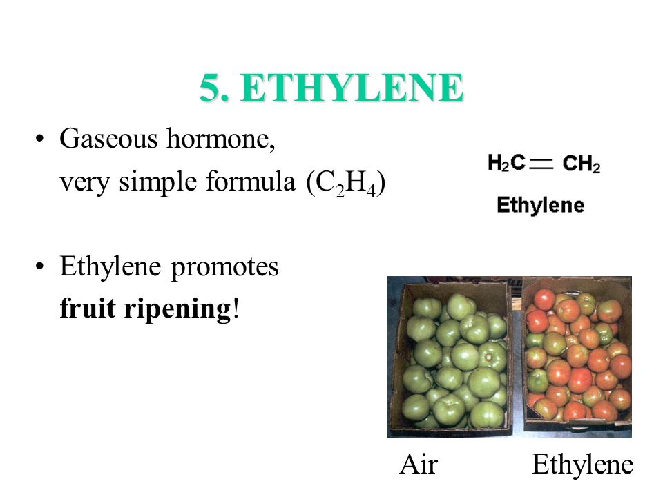 5. ETHYLENE Gaseous hormone, very simple formula (C 2 H 4 ) Ethylene promotes fruit ripening! AirEthylene