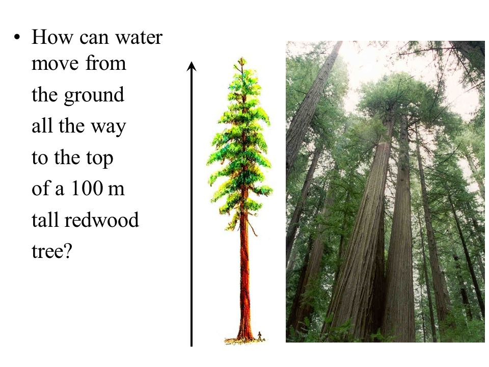 How can water move from the ground all the way to the top of a 100 m tall redwood tree?