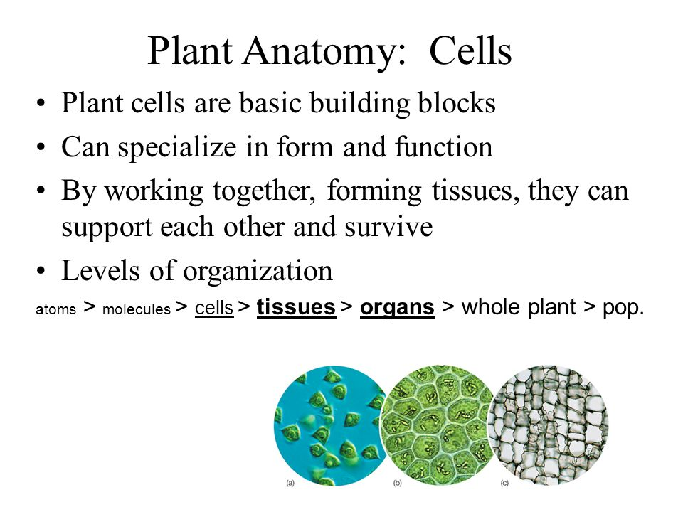 Plant Anatomy: Cells Plant cells are basic building blocks Can specialize in form and function By working together, forming tissues, they can support