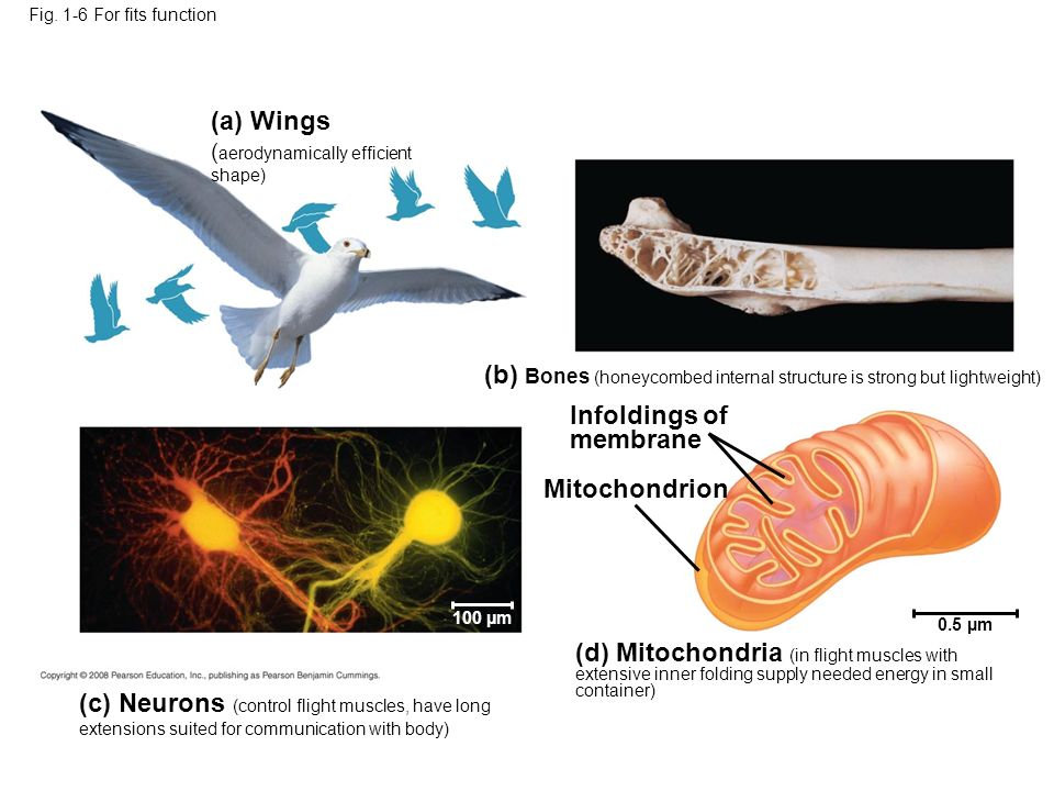 (a) Wings ( aerodynamically efficient shape) (c) Neurons (control flight muscles, have long extensions suited for communication with body) (b) Bones (