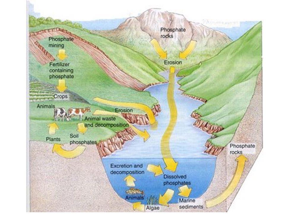 Phosphorus Why study P.