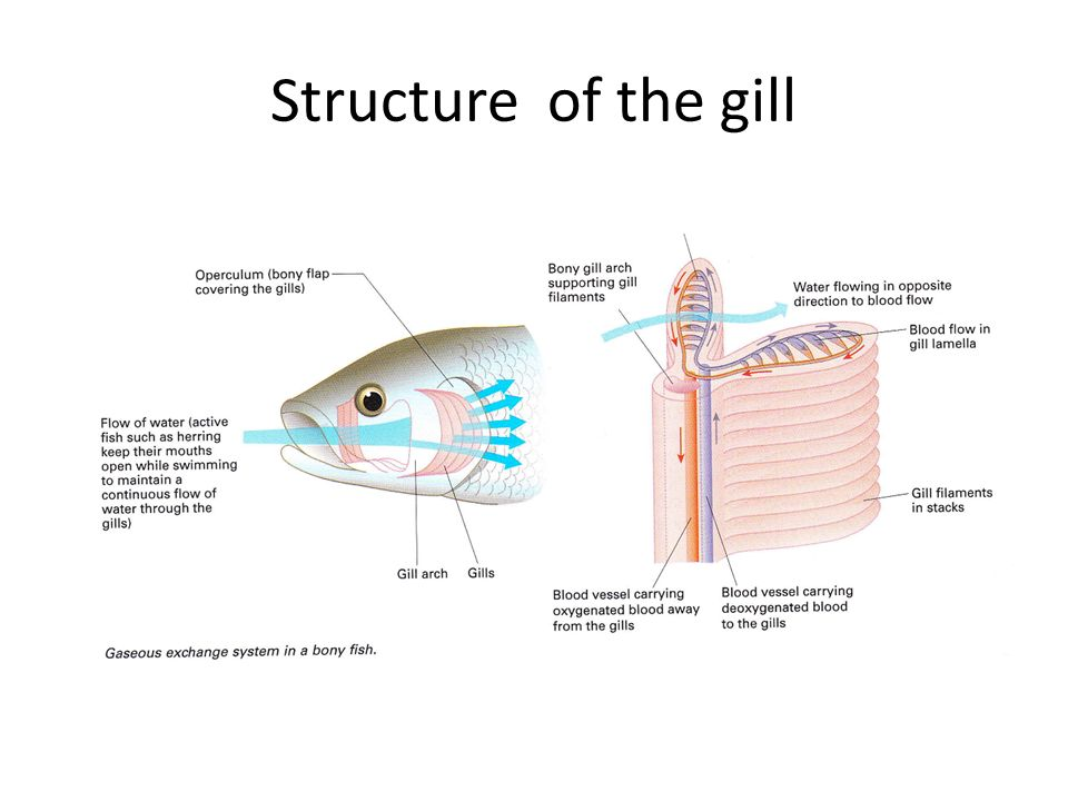 Structure of the gill