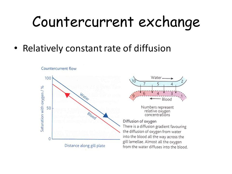 Countercurrent exchange Relatively constant rate of diffusion