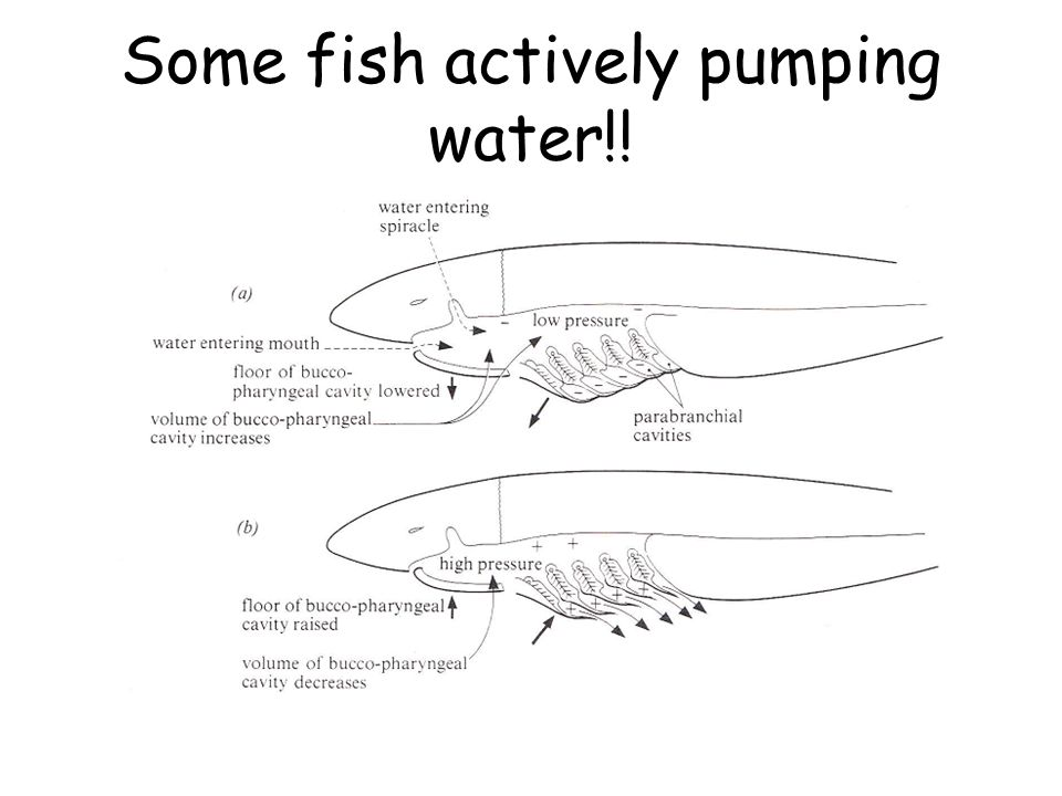 Some fish actively pumping water!!