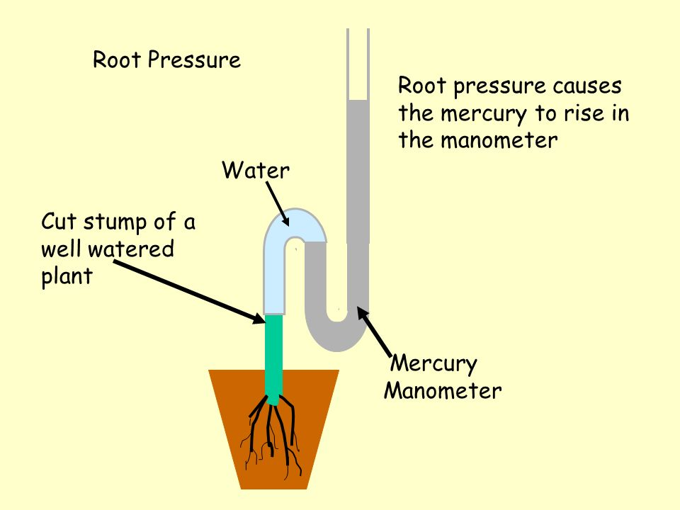 Root Pressure Root pressure causes the mercury to rise in the manometer Cut stump of a well watered plant Water Mercury Manometer