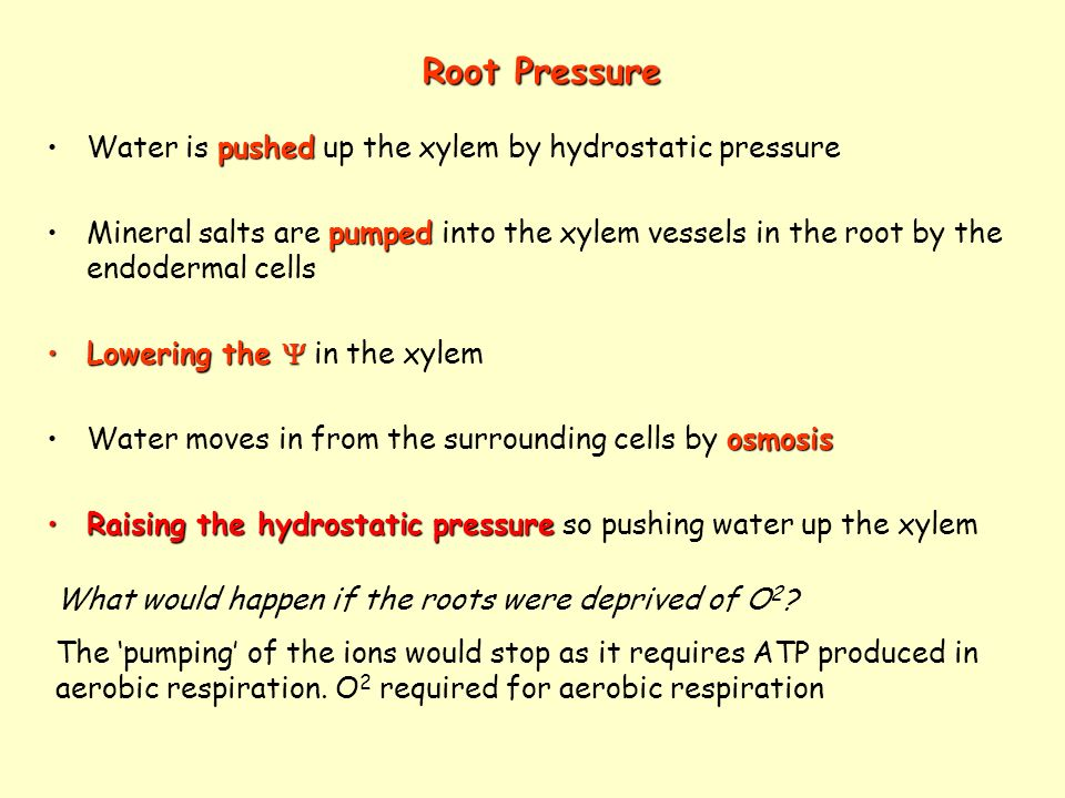 Root Pressure pushedWater is pushed up the xylem by hydrostatic pressure pumpedMineral salts are pumped into the xylem vessels in the root by the endo
