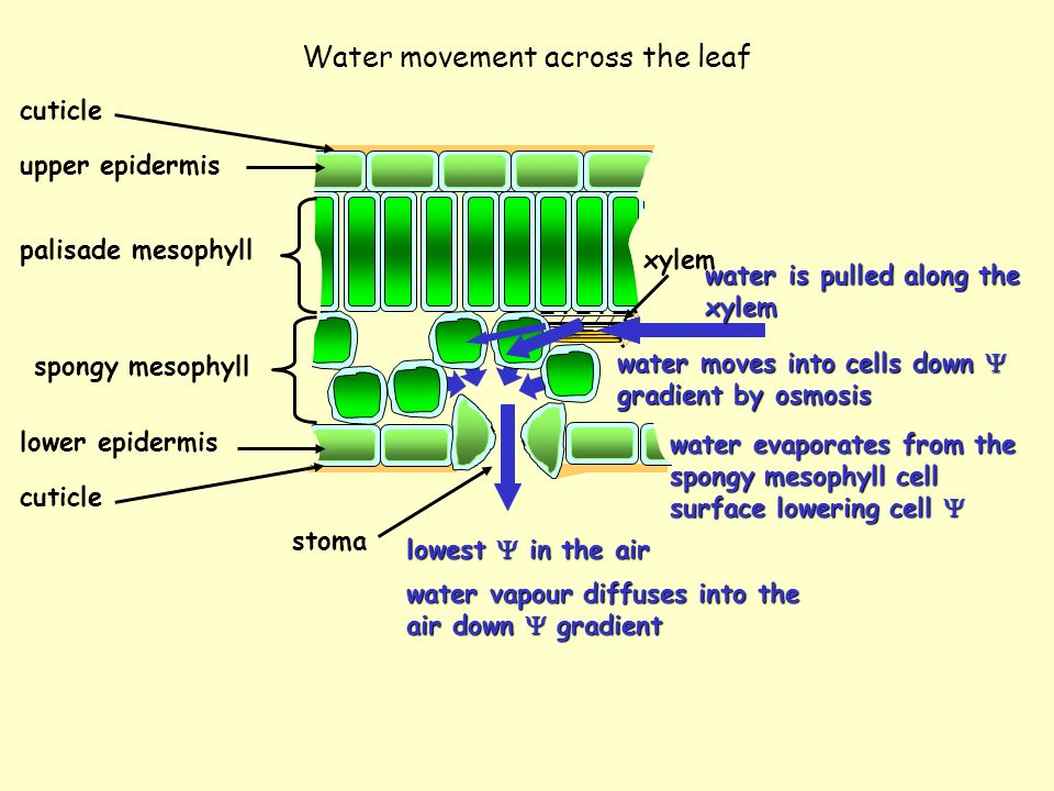 Water movement across the leaf upper epidermis palisade mesophyll spongy mesophyll lower epidermis stoma cuticle water vapour diffuses into the air do