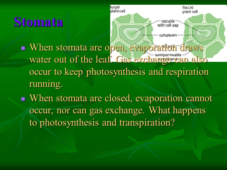 Stomata When stomata are open, evaporation draws water out of the leaf. Gas exchange can also occur to keep photosynthesis and respiration running. Wh