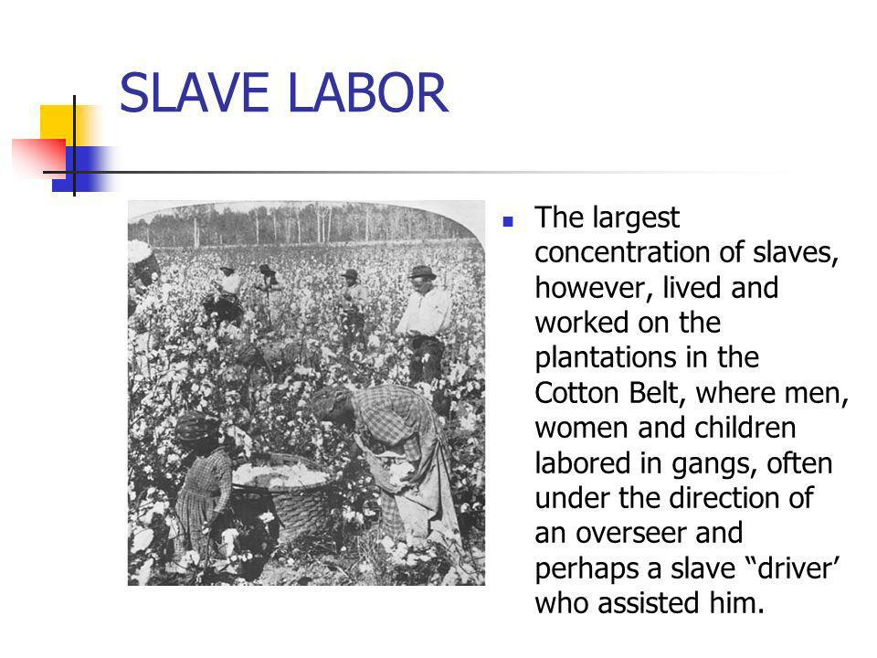 SLAVE LABOR The largest concentration of slaves, however, lived and worked on the plantations in the Cotton Belt, where men, women and children labore