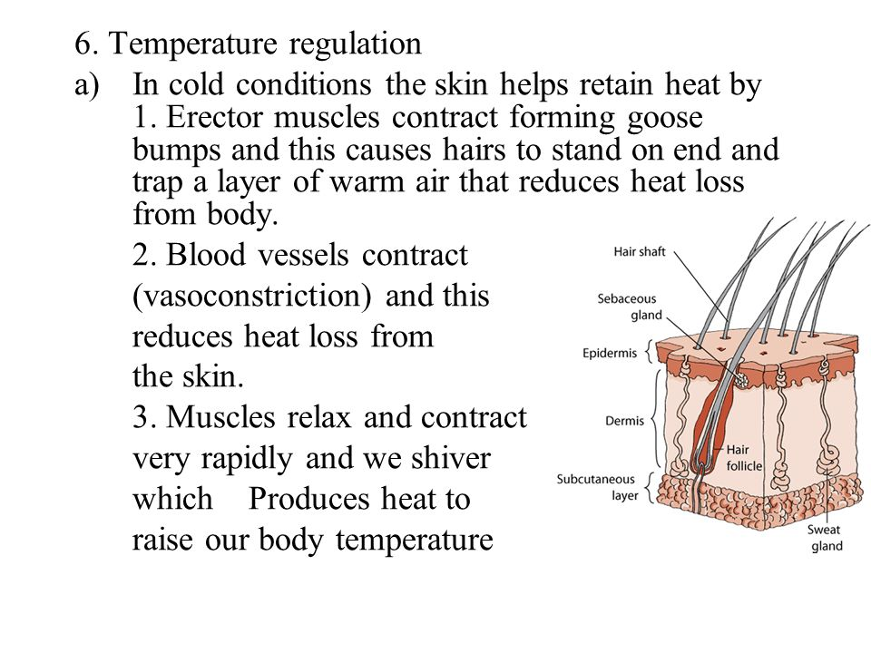6. Temperature regulation a)In cold conditions the skin helps retain heat by 1. Erector muscles contract forming goose bumps and this causes hairs to