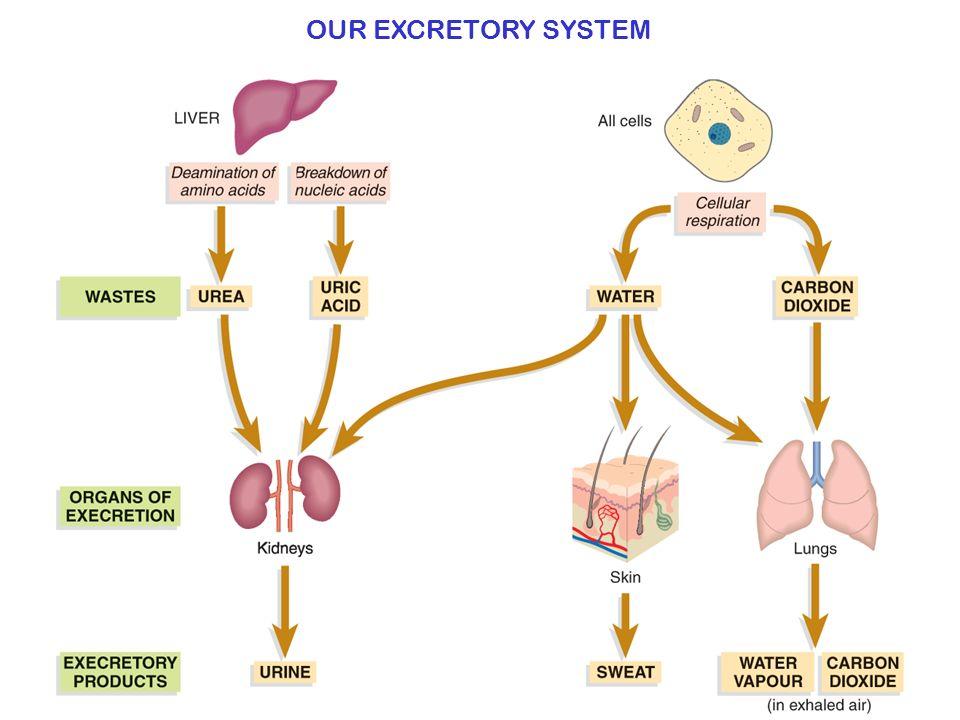 OUR EXCRETORY SYSTEM