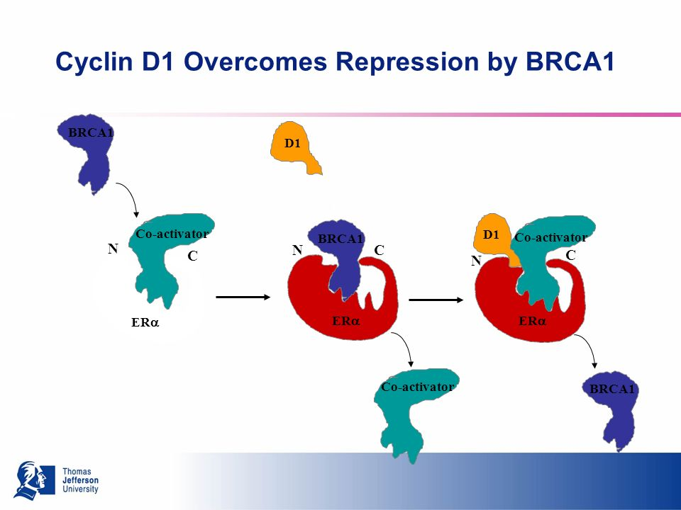 Cyclin D1 Overcomes Repression by BRCA1 N C BRCA1 NC N C ER Co-activator D1
