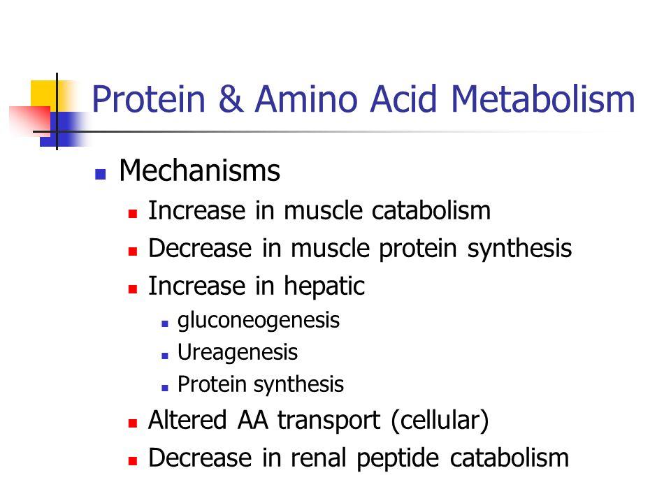Protein & Amino Acid Metabolism Mechanisms Increase in muscle catabolism Decrease in muscle protein synthesis Increase in hepatic gluconeogenesis Urea