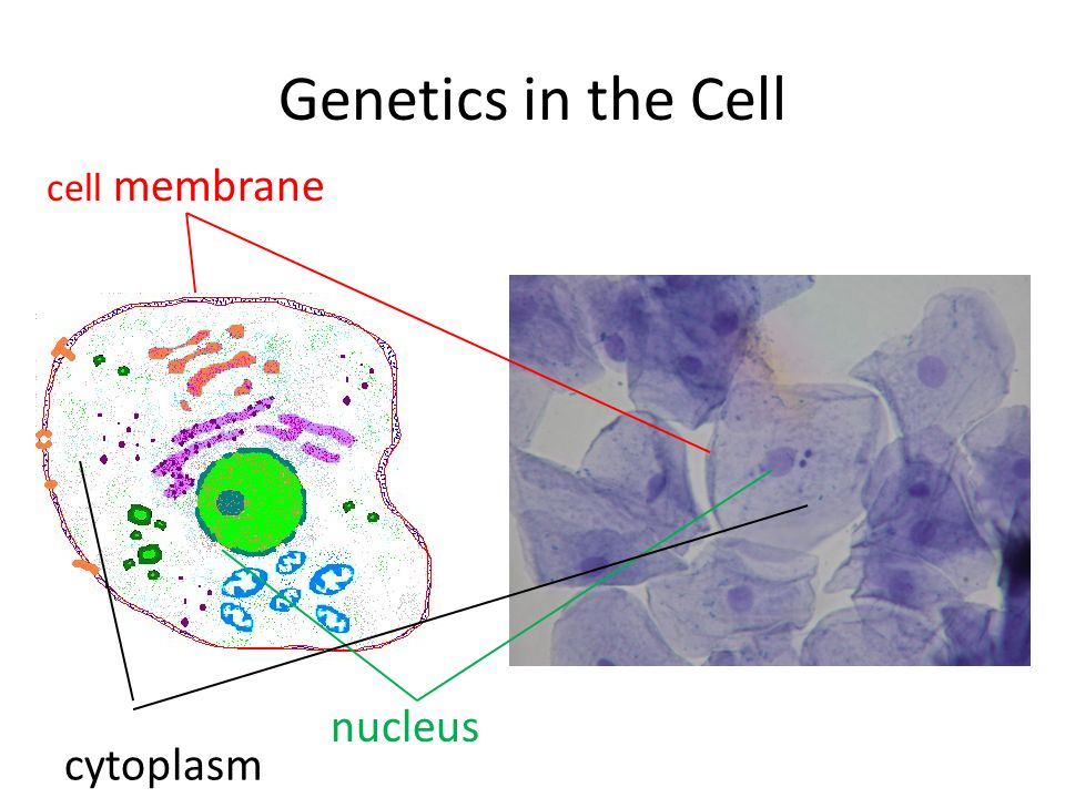 DNA is made of units called nucleotides.