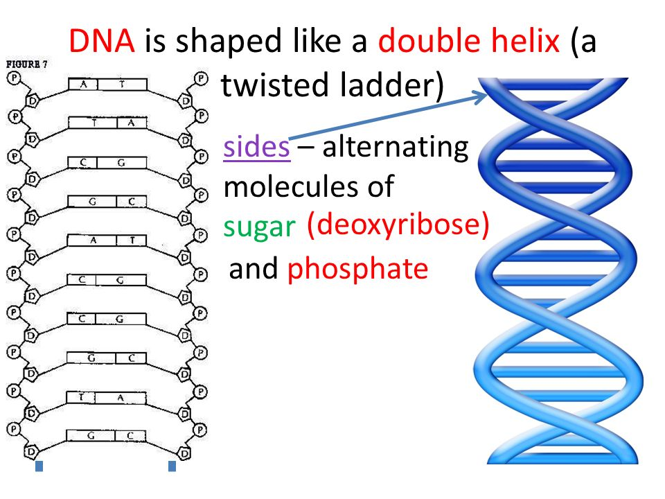 DNA is shaped like a double helix (a twisted ladder) sides – alternating molecules of sugar and phosphate (deoxyribose)